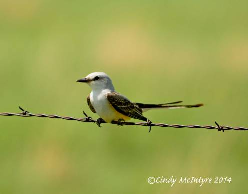 Scissor-Tail Flycatcher