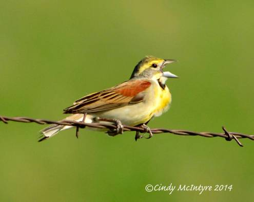Male Dickcissel in Kansas