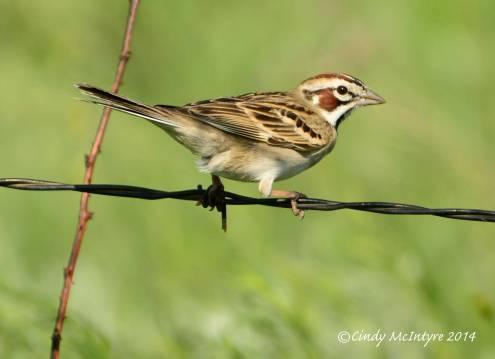 Lark Sparrow, male