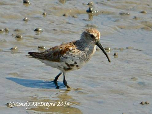 Dunlin changing into breeding plumage