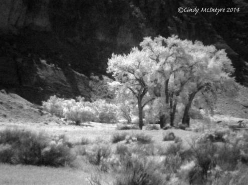 Cottonwoods along the Green River