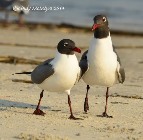Laughing-gulls-courting,-Jekyll-Is-GA-(12)