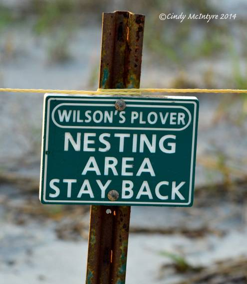 Wilson's-plover-nesting-site,-Jekyll-Is-GA-(3)-copy
