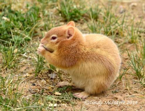 Leucistic ground squirrel