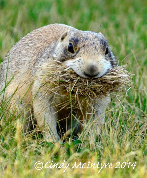 White-tailed prairie dog gathering hay