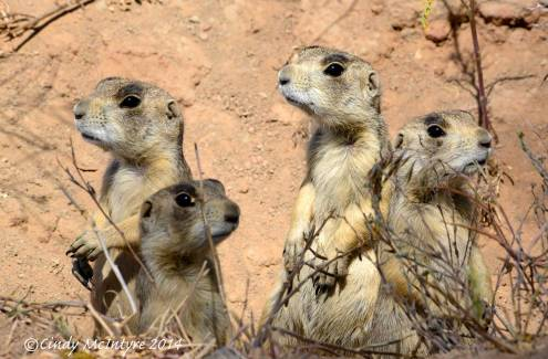 White-tailed prairie dogs