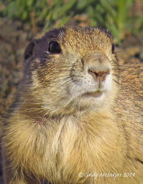 Prairie Dogs For Sale In Colorado