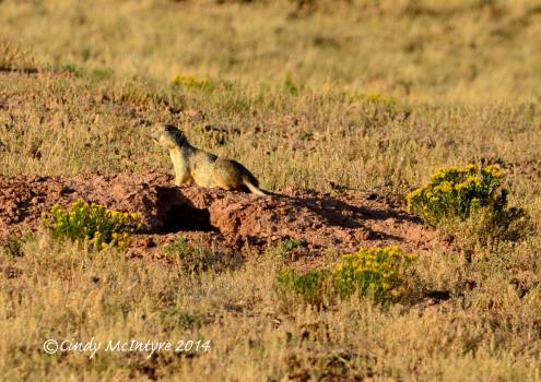 White-tailed prairie dog at its burrow