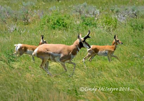 Papa Pronghorn and fawns
