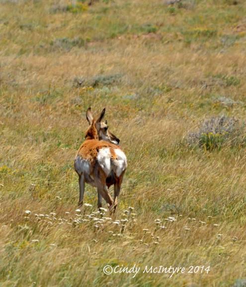 A doe