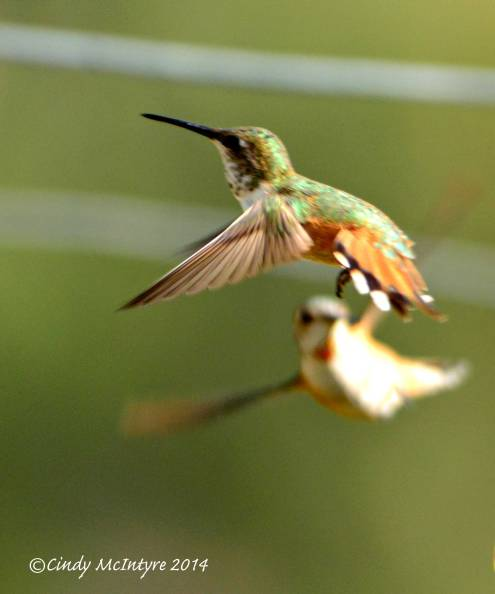 Immature rufous hummers sparring