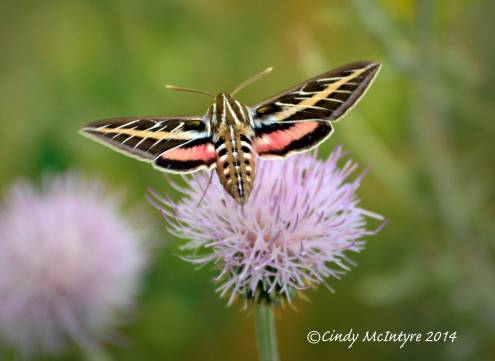 White-lined Sphinx Moth and thistle