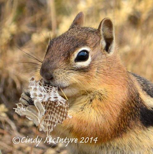 Golden-mantled ground squirrel eating cast-off snakeskin