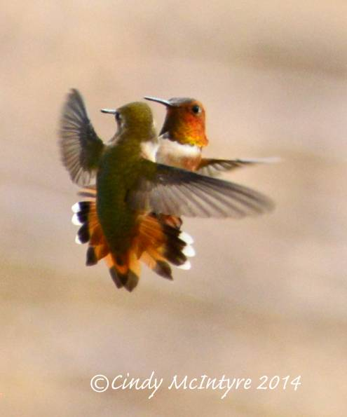 Rufous Hummingbirds - a mating pair, or dueling males?