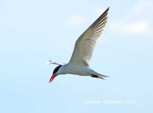 Caspian-Tern,-Bear-River-Migratory-Bird-Refuge,-UT-(4)-copy