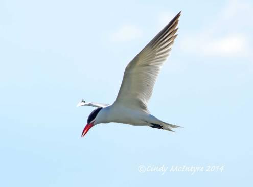 Caspian-Tern,-Bear-River-Migratory-Bird-Refuge,-UT-(4)-copy