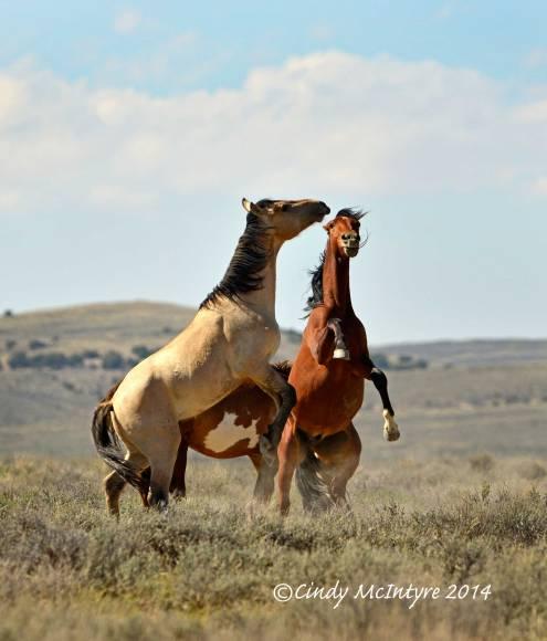 Stallions at play