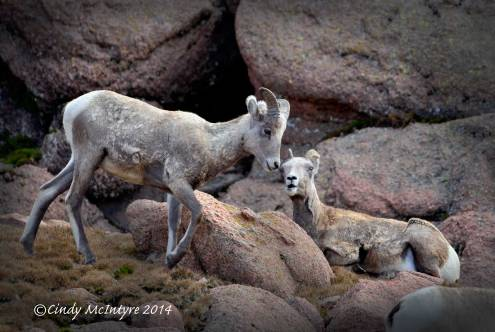Rocky-Mt-Bighorn-Sheep,-Pikes-Peak-CO-(10)-copy-2