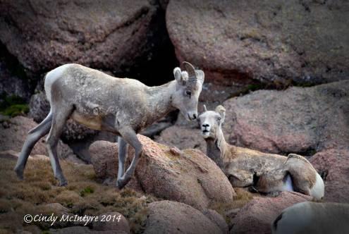 Rocky-Mt-Bighorn-Sheep,-Pikes-Peak-CO-(10)-copy-2