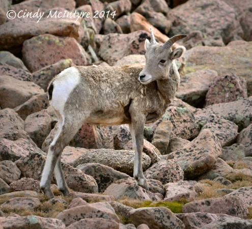 Rocky-Mt-Bighorn-Sheep,-Pikes-Peak-CO-(18)-copy-2