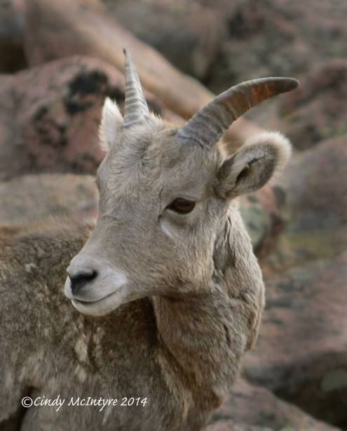 Rocky-Mt-Bighorn-Sheep,-Pikes-Peak-CO-(19)-copy-3