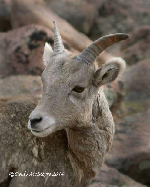 Rocky-Mt-Bighorn-Sheep,-Pikes-Peak-CO-(19)-copy-3