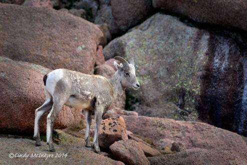 Rocky-Mt-Bighorn-Sheep,-Pikes-Peak-CO-(2)-copy-2