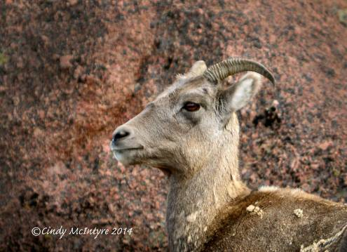 Rocky-Mt-Bighorn-Sheep,-Pikes-Peak-CO-(26)-copy-5