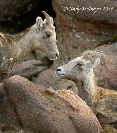 Rocky-Mt-Bighorn-Sheep,-Pikes-Peak-CO-(39)-copy-3