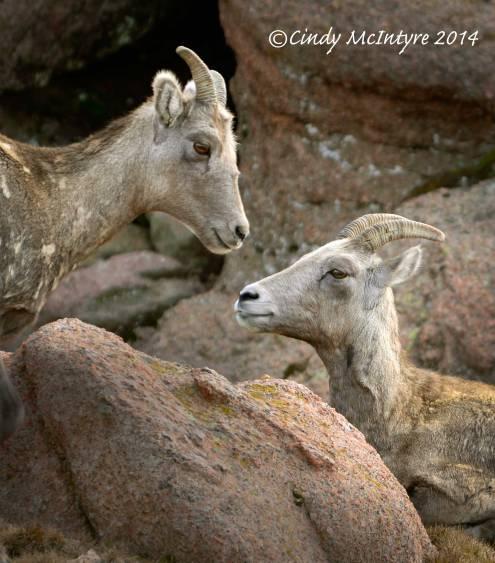 Rocky-Mt-Bighorn-Sheep,-Pikes-Peak-CO-(39)-copy-3
