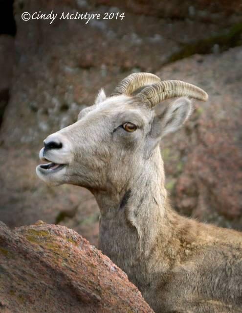 Rocky-Mt-Bighorn-Sheep,-Pikes-Peak-CO-(43)-copy-3