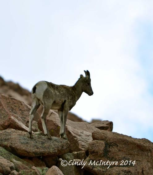Rocky-Mt-Bighorn-Sheep,-Pikes-Peak-CO-(54)-copy