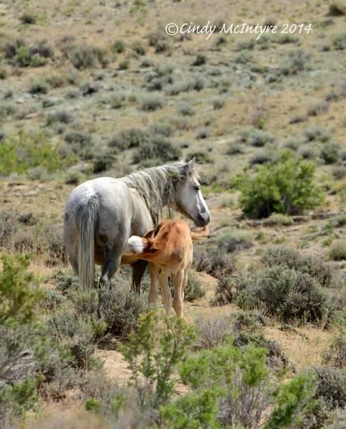 Sand-Wash-Basin-Wild-Horses,-CO-(16)-copy