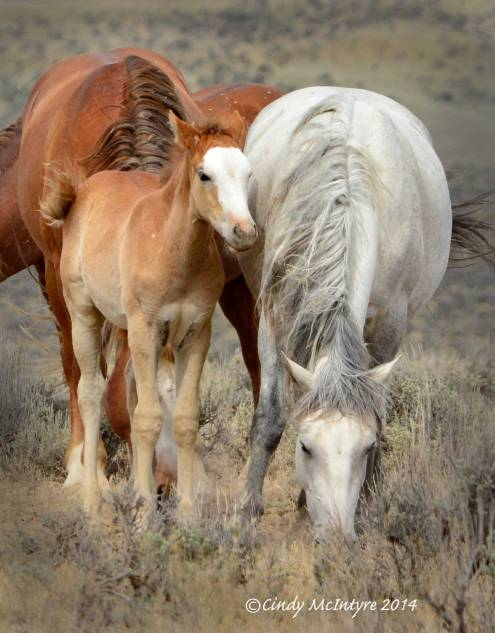Sand-Wash-Basin-Wild-Horses,-CO-(6)-copy