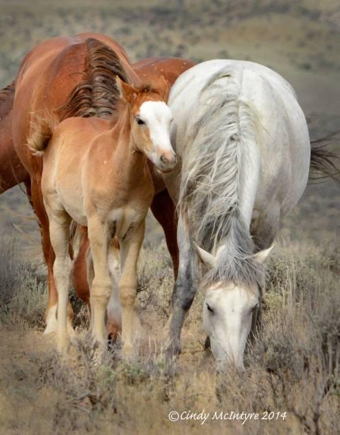 Sand-Wash-Basin-Wild-Horses,-CO-(6)-copy