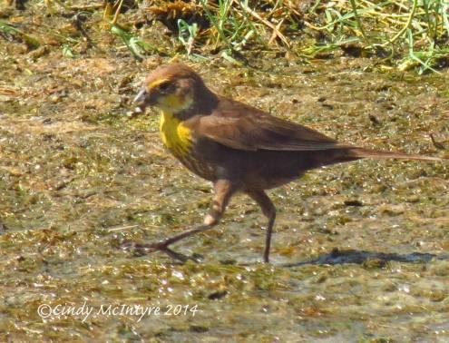 Yellow-headed-blackbird-female,-Bear-R-NWR-UT-(1)-copy-2
