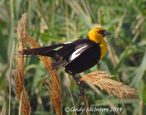 Yellow-headed-blackbird-male,-Bear-River-NWR-UT-(1)-copy-2