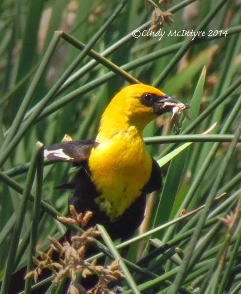 Yellow-headed-blackbird-male,-Bear-River-NWR-UT-(7)-copy-2