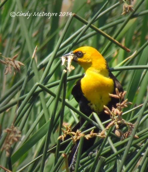 Yellow-headed-blackbird-male,-Bear-River-NWR-UT-(8)-copy-2