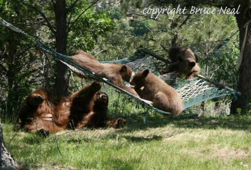 Suburban bears in Colorado Springs
