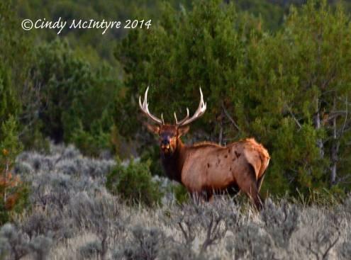 Bull Elk at Iron Springs Bench