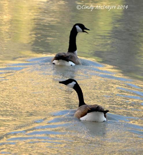 Canada-Goose,-Echo-Park,-DINO-CO-(16)-copy