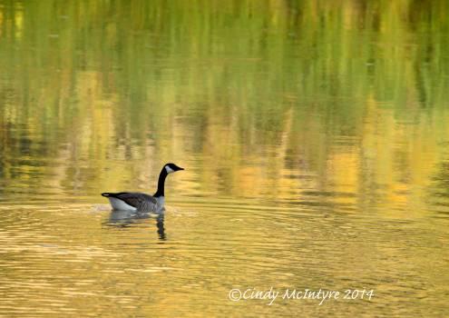 Canada-Goose,-Echo-Park,-DINO-CO-(27)-copy-2