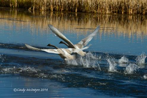Trumpeter swan cygnets taking flight