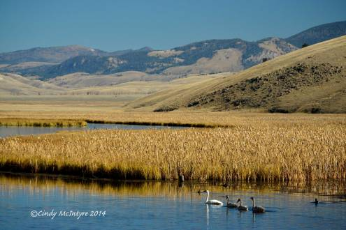 Trumpeter swan family, National Elk Refuge, Jackson, WY