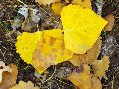 Fremont-Cottonwood-leaves-in-fall,-Echo-Park-(1)-copy