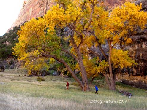 Hikers and golden cottonwood