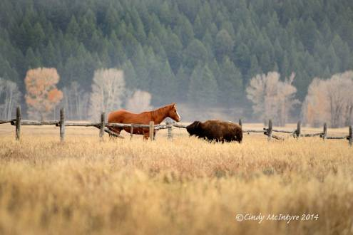 Horse-and-bison-calf,-Grand-Teton-NP-WY-(6)-copy-2