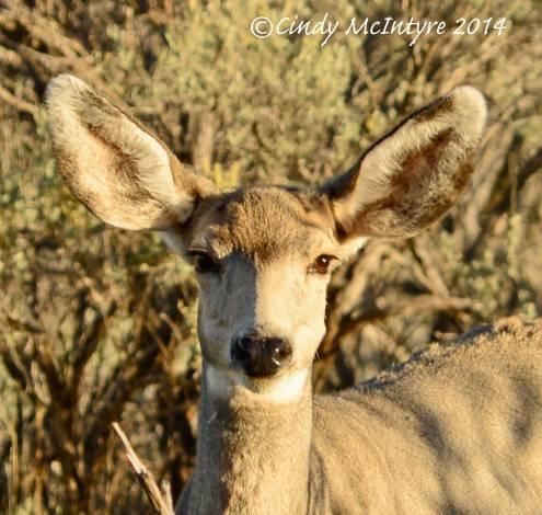Mule-deer-doe,-Echo-Park-Road-(6)-copy-2