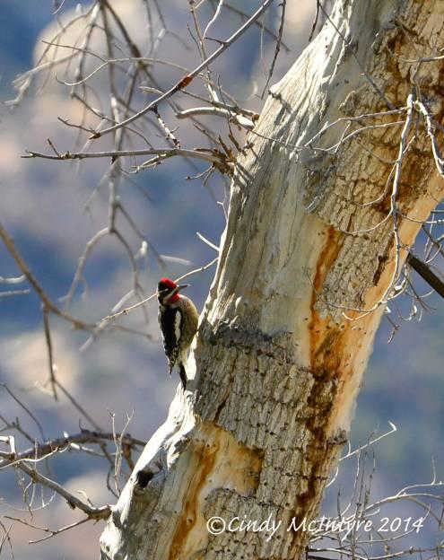 Red-naped sapsucker male